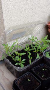 semis tomates