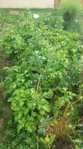 pommes de terre et fèves